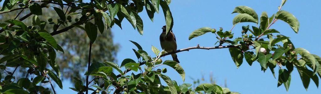 Jardin Ernest Renan, chardonneret dans le pommier, attiré par les insectes nombreux à venir visités les plates bandes de vivaces.